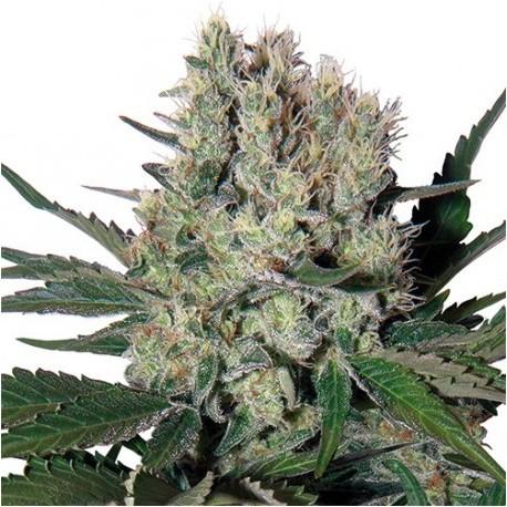 Syrup x3 - Buddha Seeds