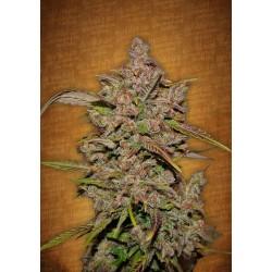 Crystal Meth Fast Buds